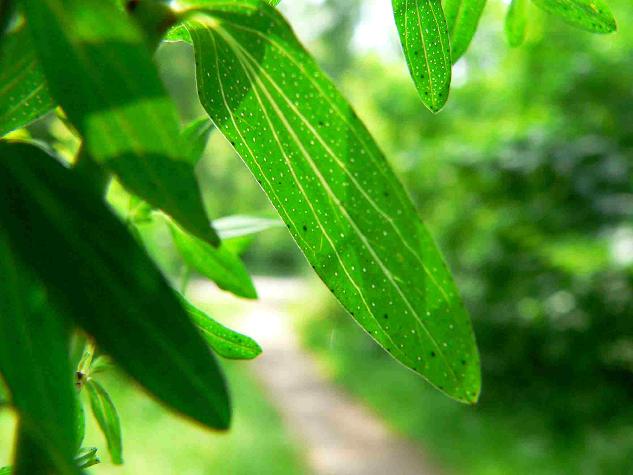 Johanniskraut, Blätter ganzrandig eiförmigmit Öldrüsen,  | copyright Britta Jessen