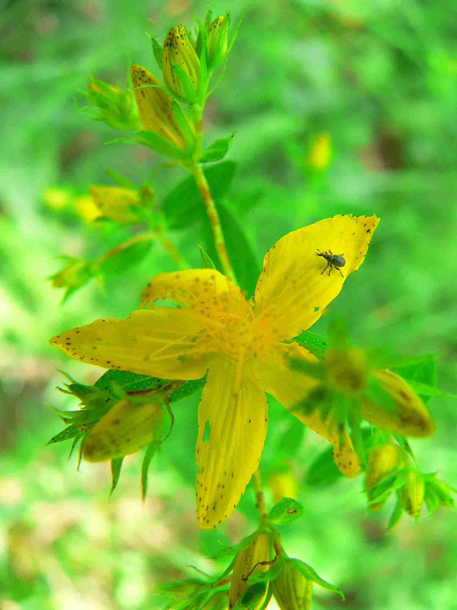Johanniskraut,  5 zählige Blüten mit vielen Staubblättern | copyright Britta Jessen