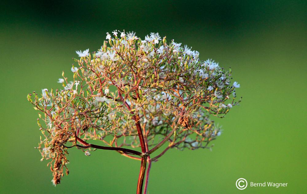 Blütenstand eines verblühten Wasserdostes