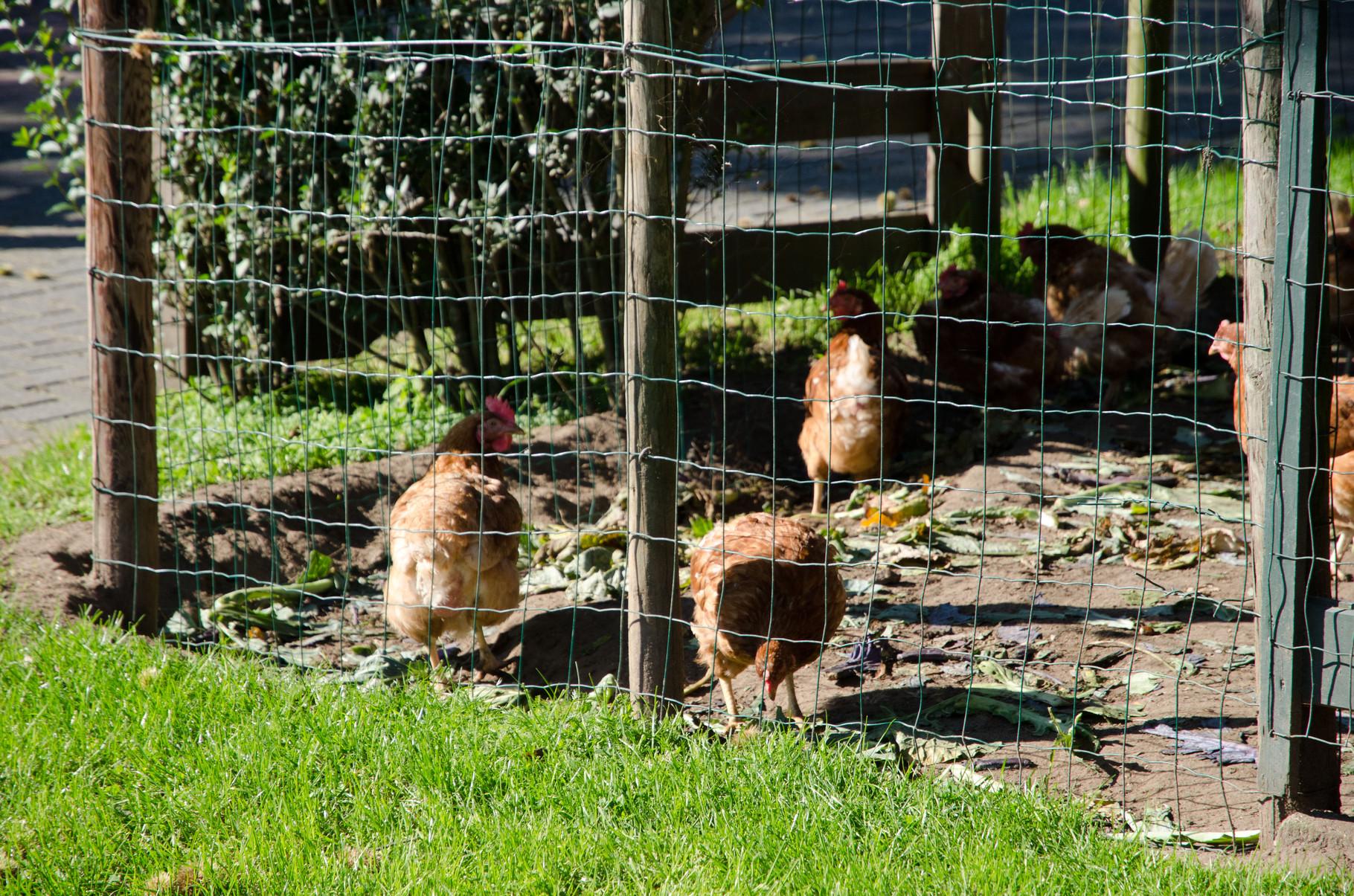 Kippen, dus elke dag verse eieren