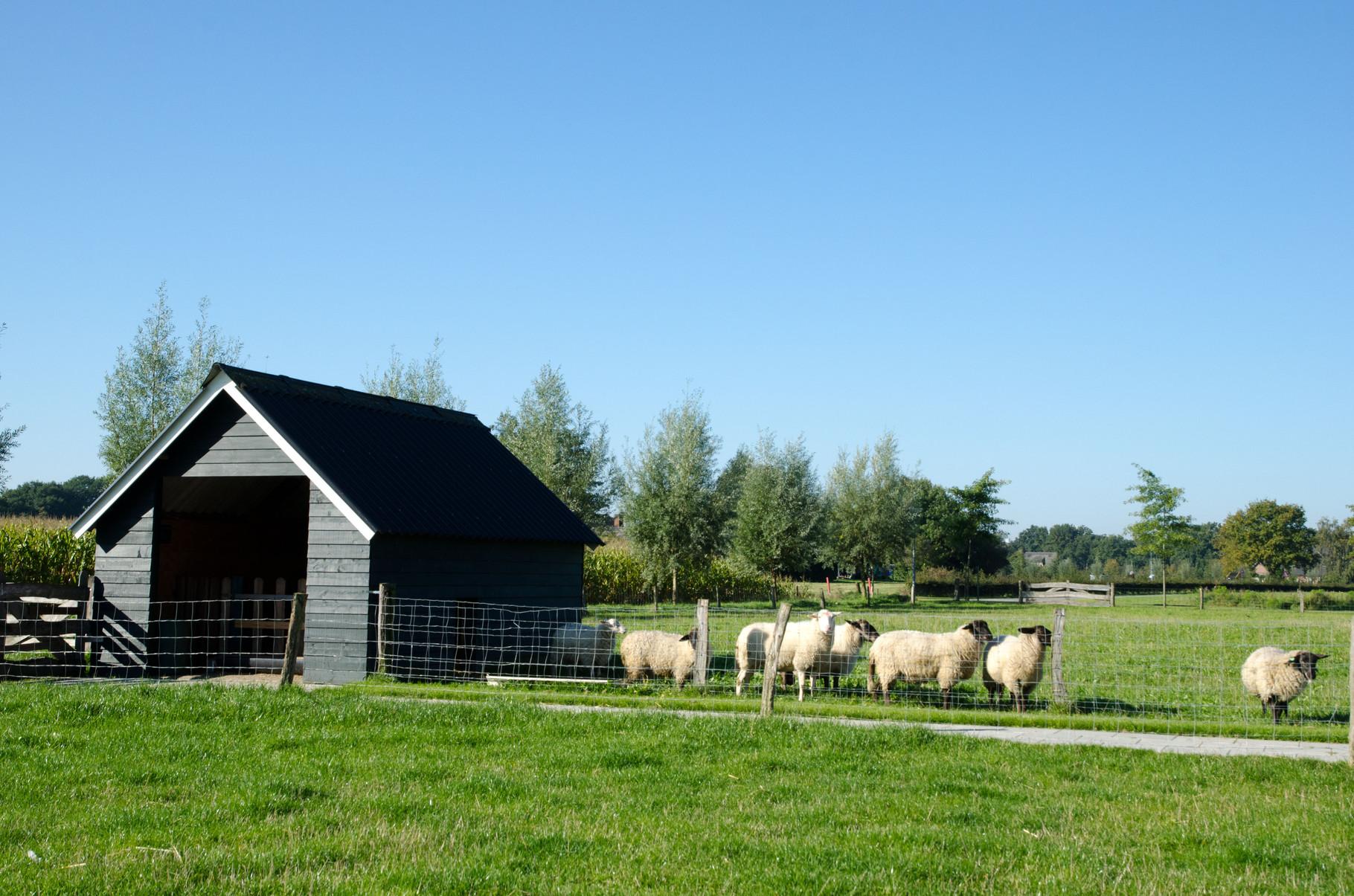 Er gaan veel makke schapen in een hok