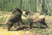Wildschweinkampf