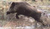 Wildschwein springt in Suhle