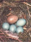 Kuckucksei unter himmelblauen Eiern einer Heckenbraunelle.
