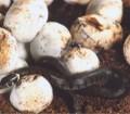 Eier Ringelnatter
