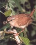 Insekten und Larven sind die Hauptmahlzeit, manchmal frißt er auch Kaulquappen.