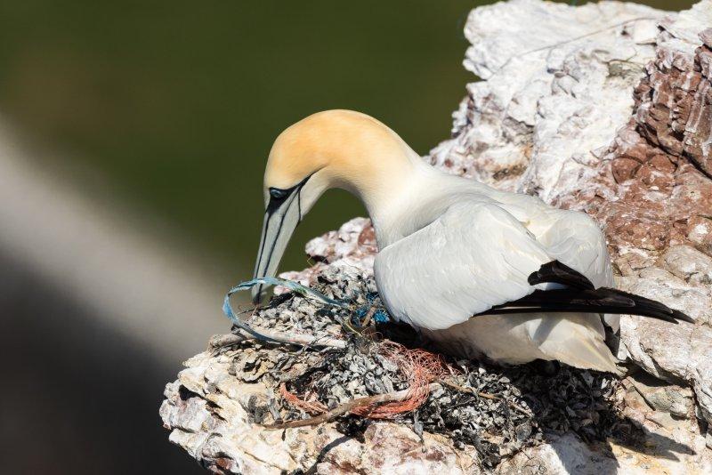 """""""Feintuning mit Abfall"""" von Wenke S.: Das auf Helgoland geschossene Bild zeigt einen Basstölpel, der sein Nest mit Plastikmüll ausbessert, der in den Meeren gefunden wird."""