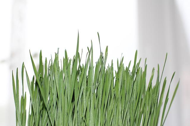 Weizengras, Weizengraspulver, Greendoo, Greendoo.de, Matcharunner
