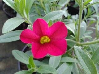 Millionbells - Calibrachoa - viele weiter Sorten und Farben, auch 3-färbige erhältlich!