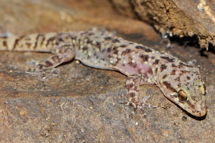 Hemidactylus turcicus, Sardinia, Italy, July 2012