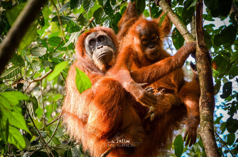 Die wilden Orang-Utans von Gunung Leuser - Reisebericht Indonesien (Sumatra)