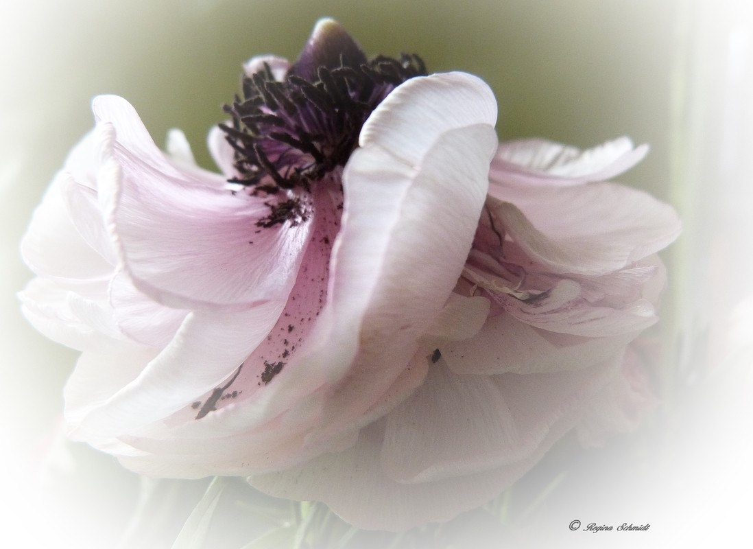 Anemone im Welkestadium