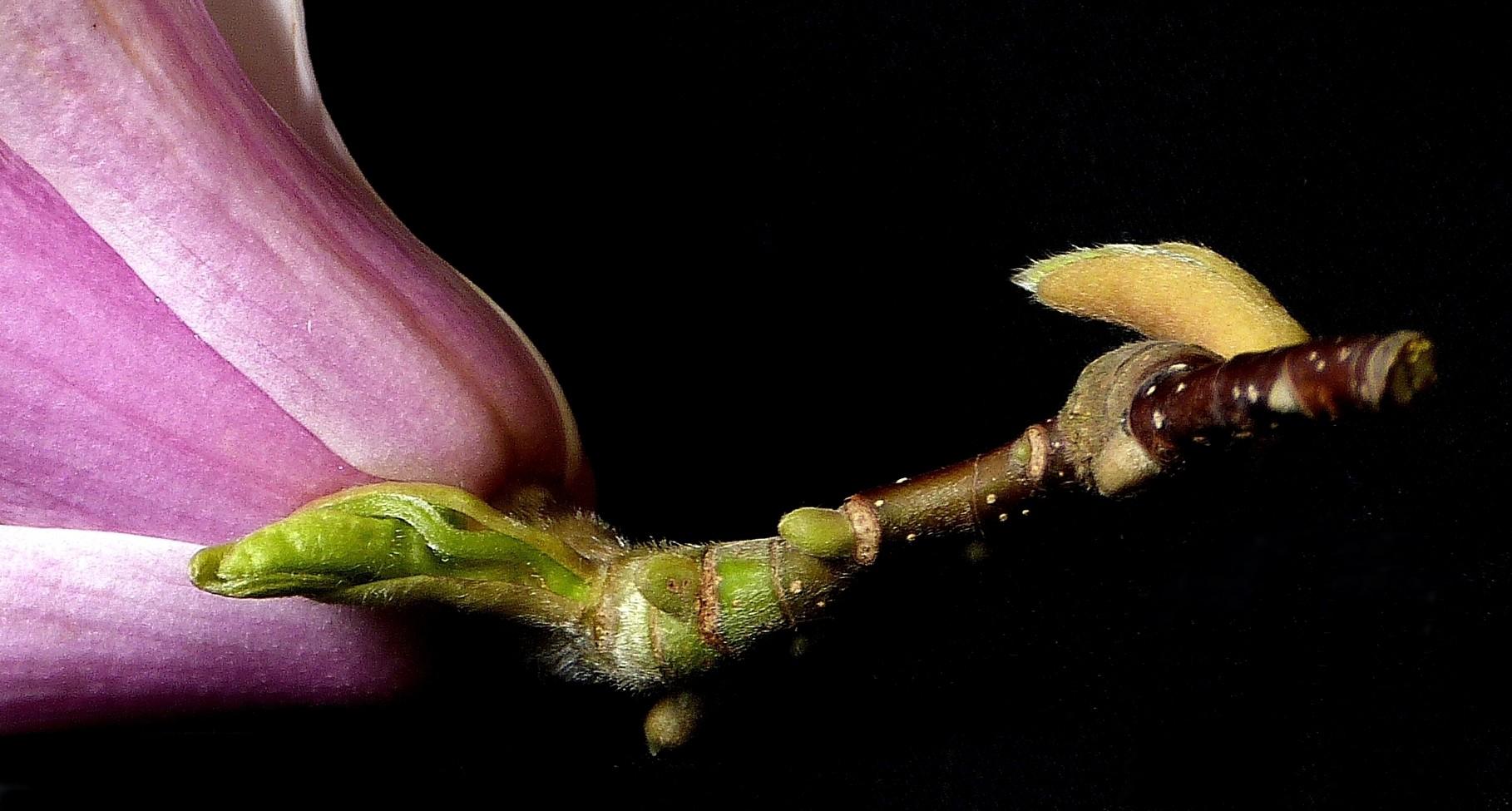Magnolie mal anders