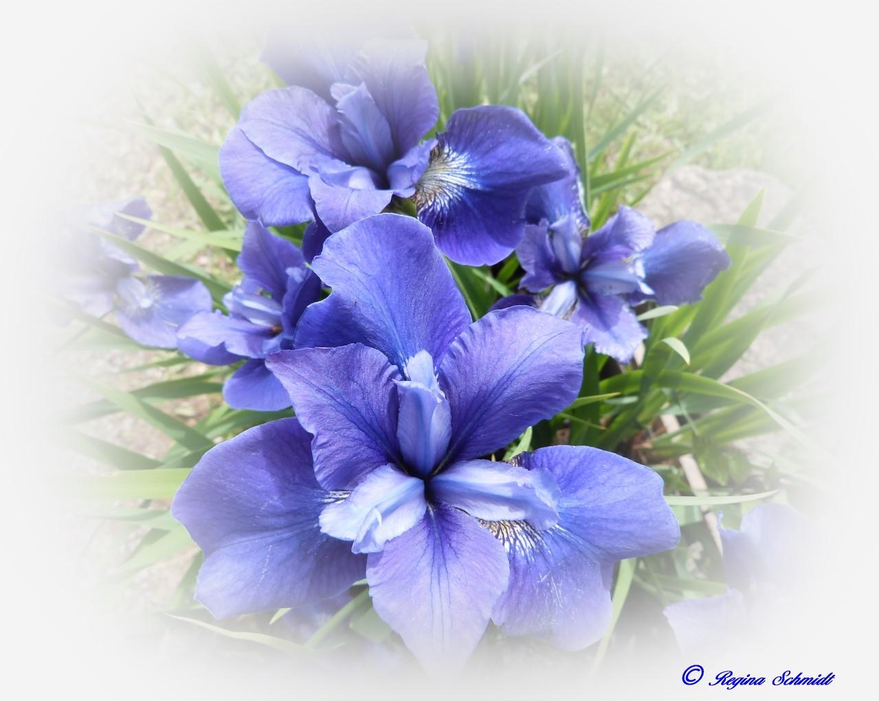 Irisblüten
