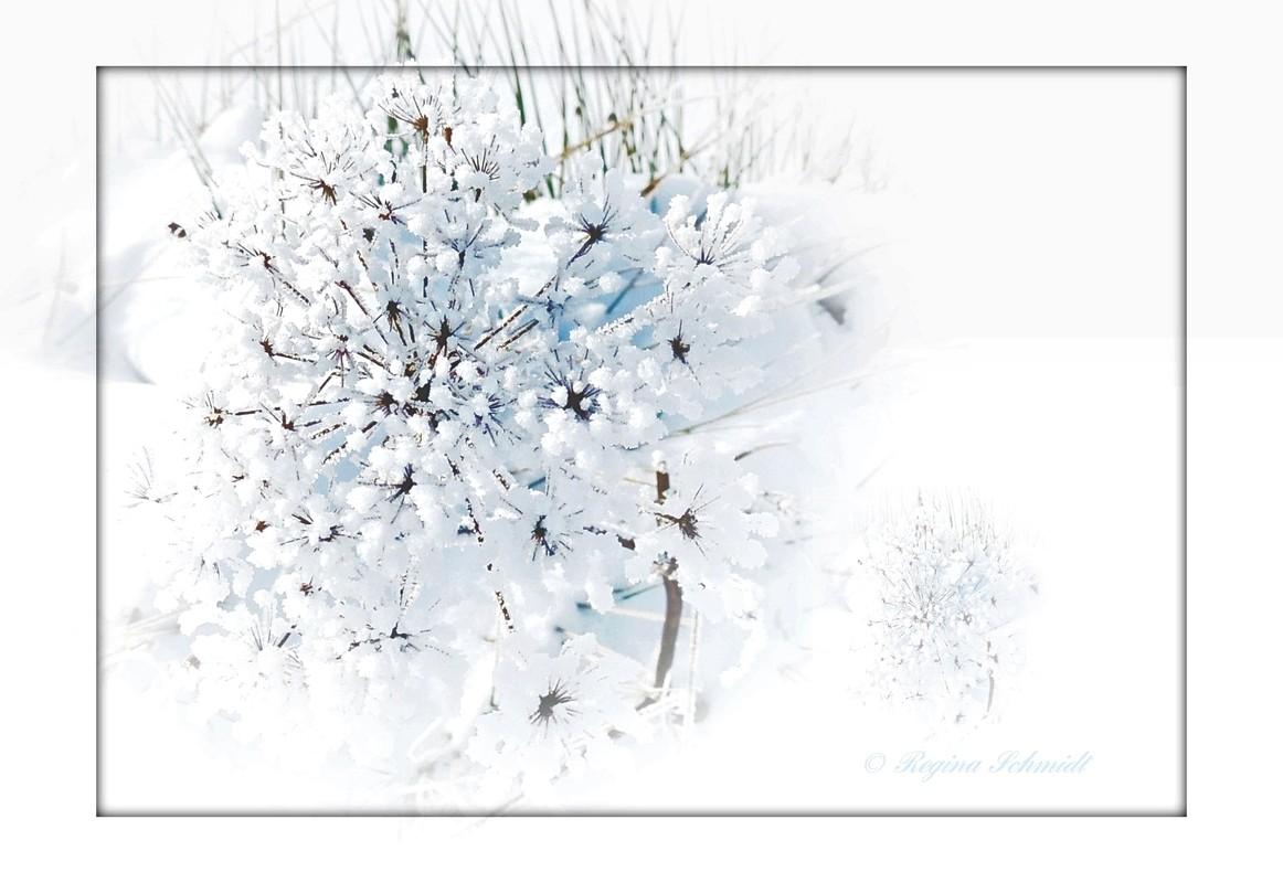 Schneeblüte