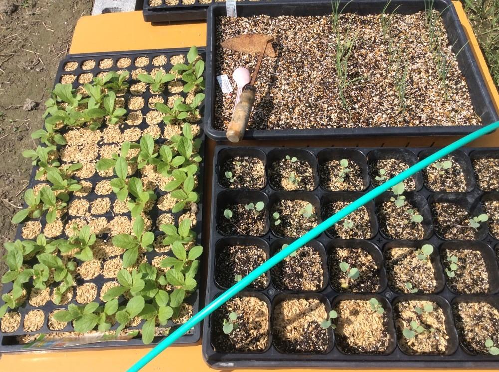 ハクサイと茎ブロッコリー、玉葱