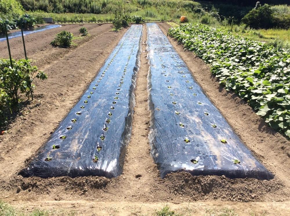 二畝に植え終わりました