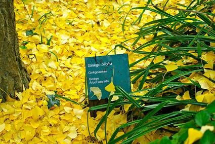 Ginkgo, árbol sagrado - Jardín Botánico Histórico de Barcelona