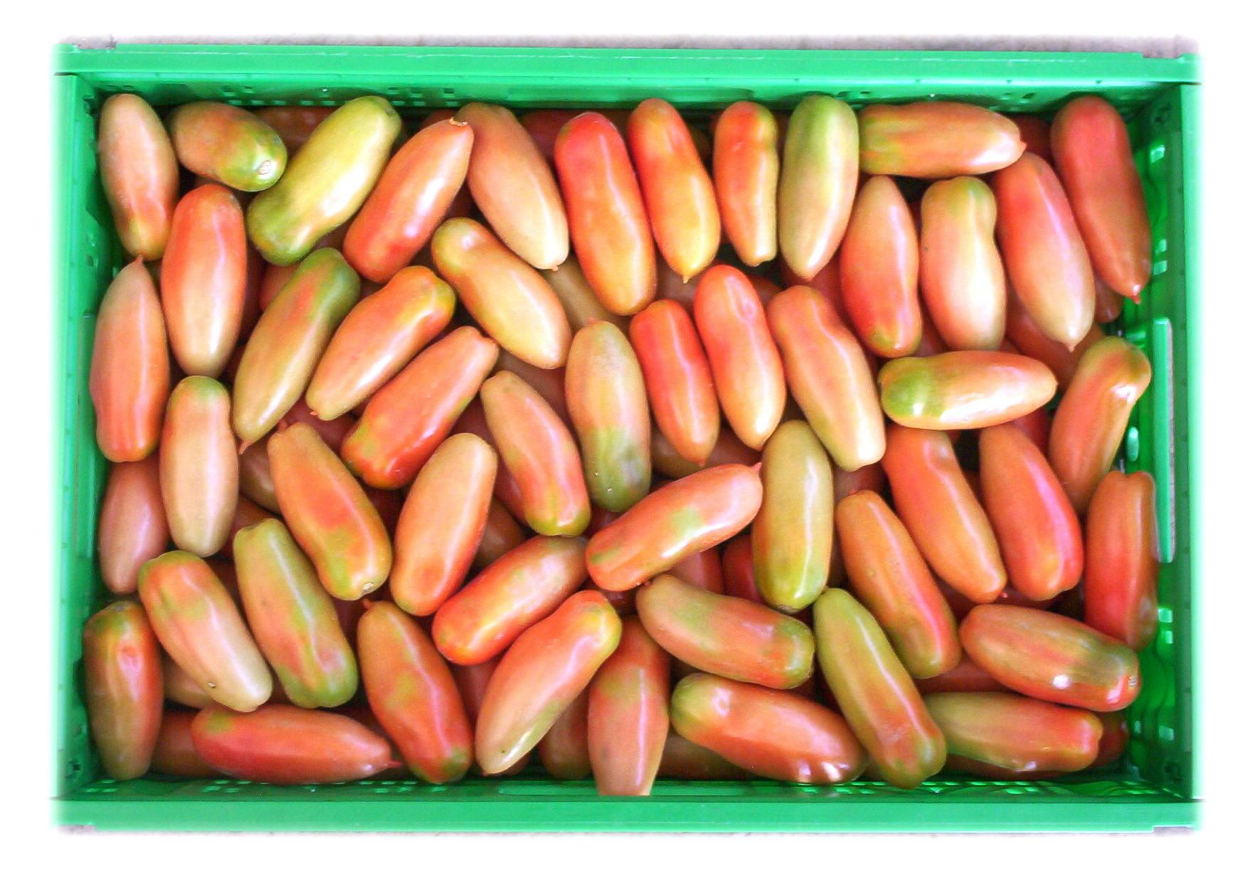 Pomodoro verde Cpr 40*60