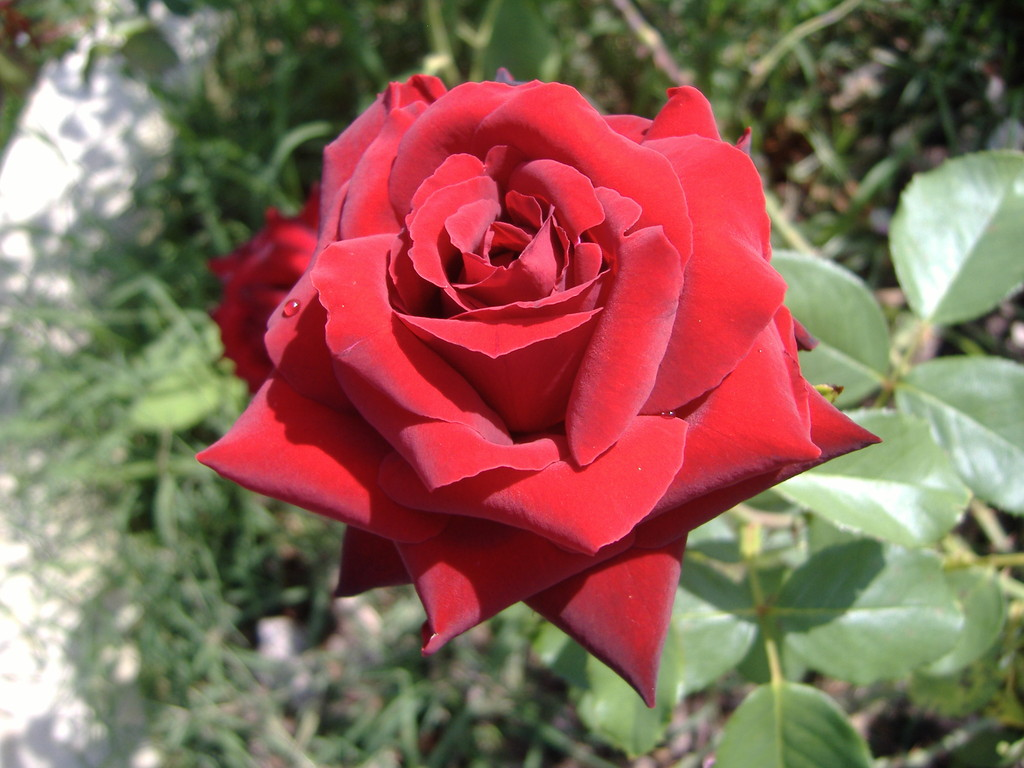 Le rose di Villa del Falco