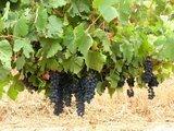Der Rohstoff aus dem die wunderbaren südafrikanischen Rotweine hergestellt werden.