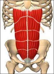 рис.1 прямая мышца живота