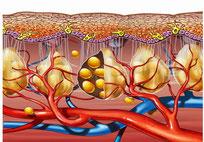адипоциты в подкожкожном слое