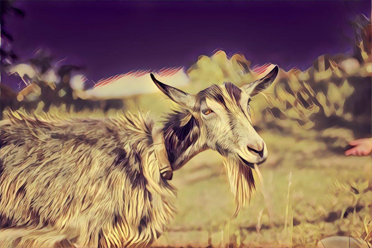 Groovy Goats