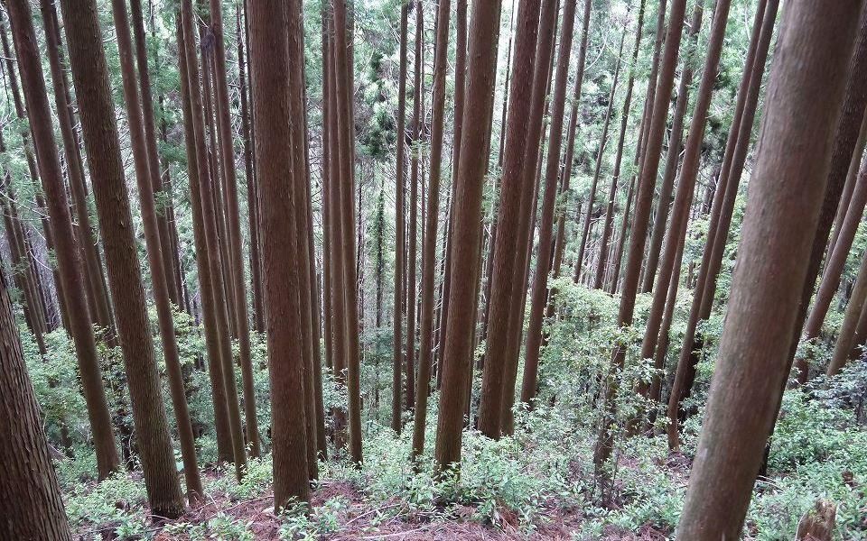 60年生 スギ造林地