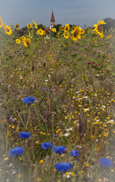 Sonnenblumenfeld mit Kornblumen