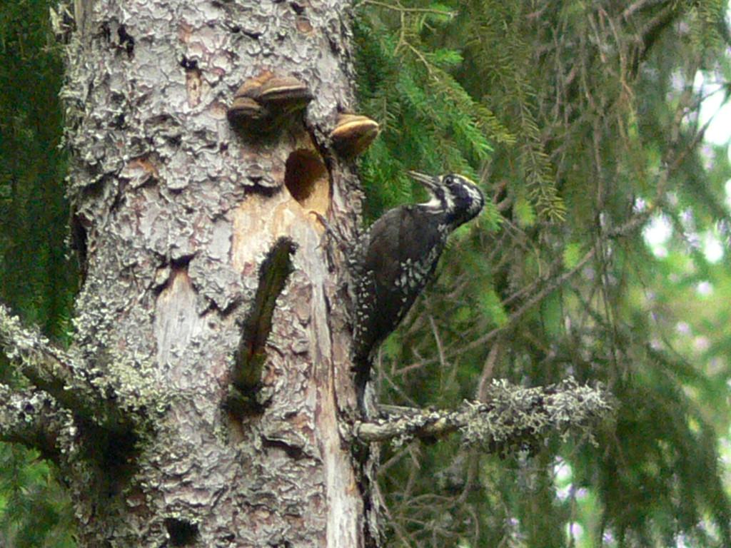 Dreizehenspecht im Wald der NABU-Naturwaldgemeinde Königsfeld