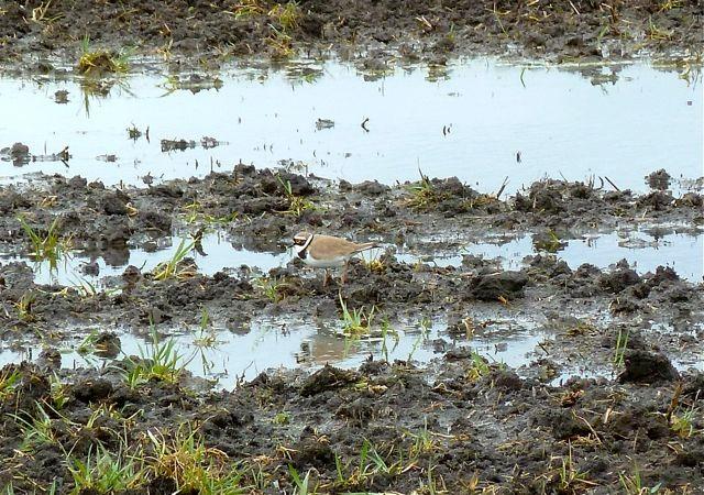 Flußregenpfeifer