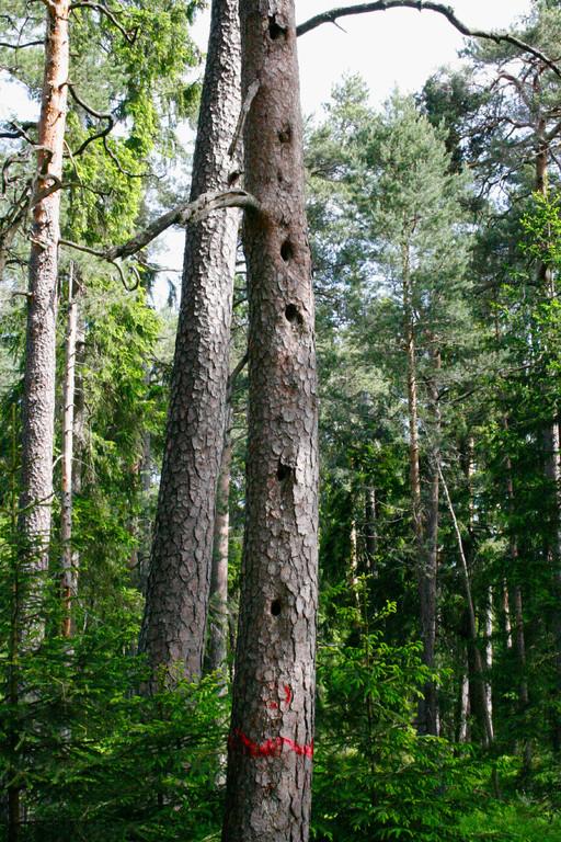 Sperlingskauz im Stadtwald St. Georgen
