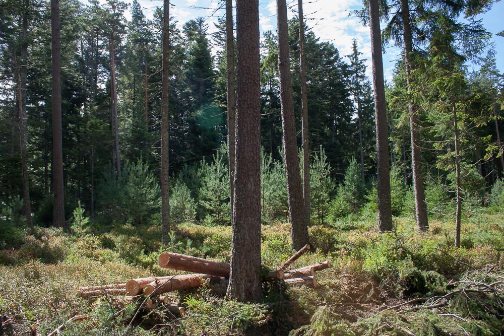 Auerhuhnschonwald nach Durchforstung mit Vollernter