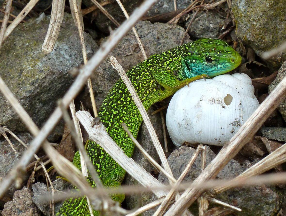 Smaradgeidechse Männchen