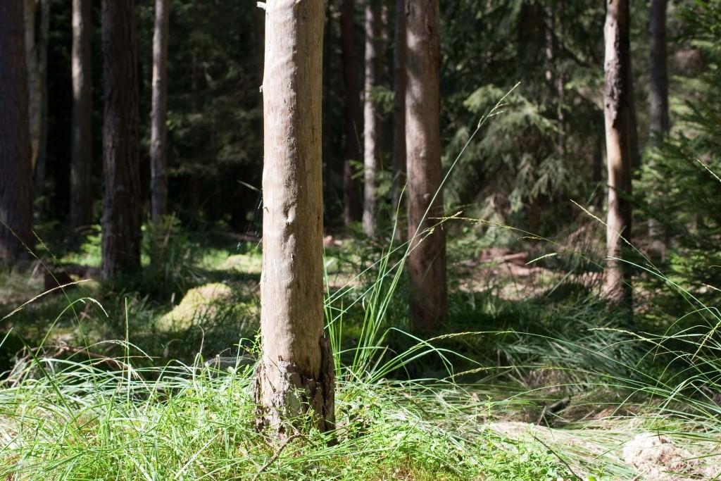 stehendes Totholz