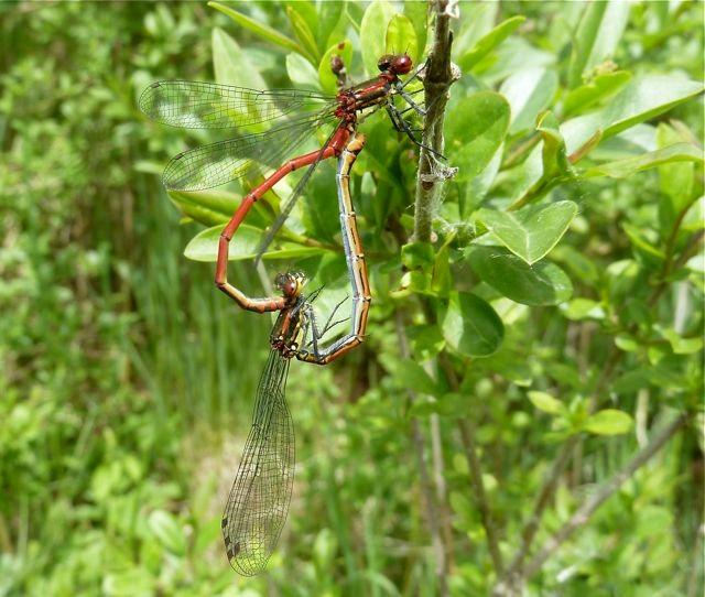 Libellen-Hochzeitsrad, Frühe Adonislibelle