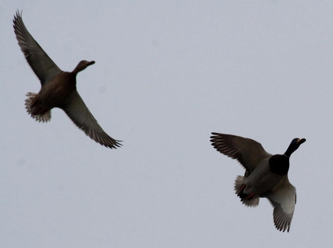 Stockentenpaar im Landeanflug