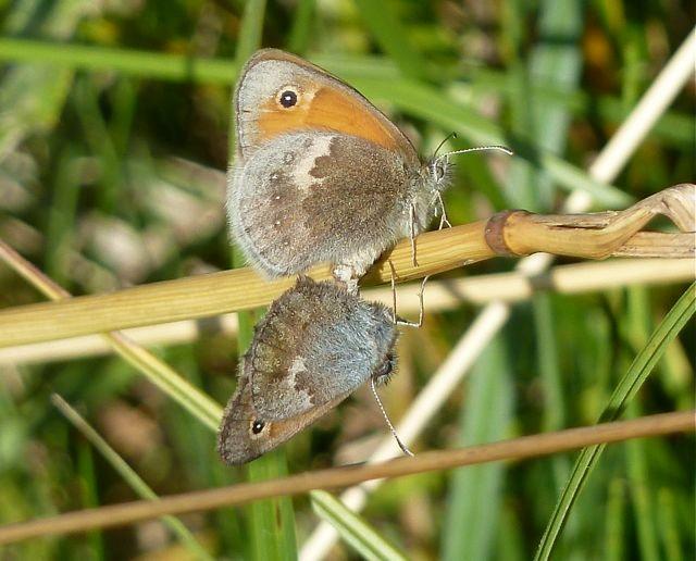 Kleines Wiesenvögelchen, Paarung, Foto: Matthias Ebert (C)