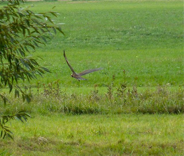 Rohrweihe am NABU-Teich