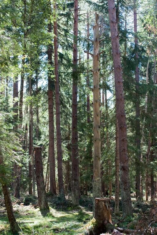 Kiefern-Birken-Wald