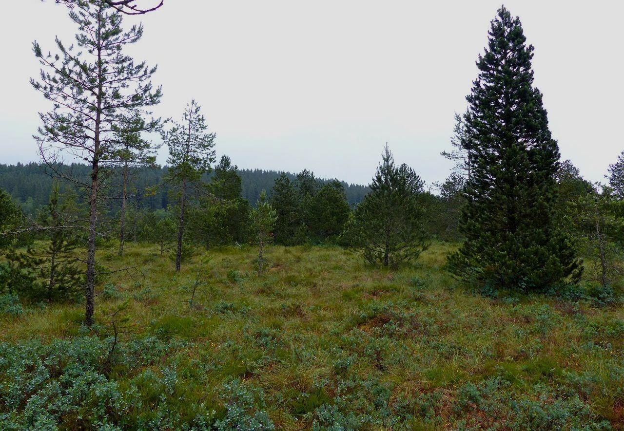 Moorkiefer = Spirke = Pinus mugo uncinata