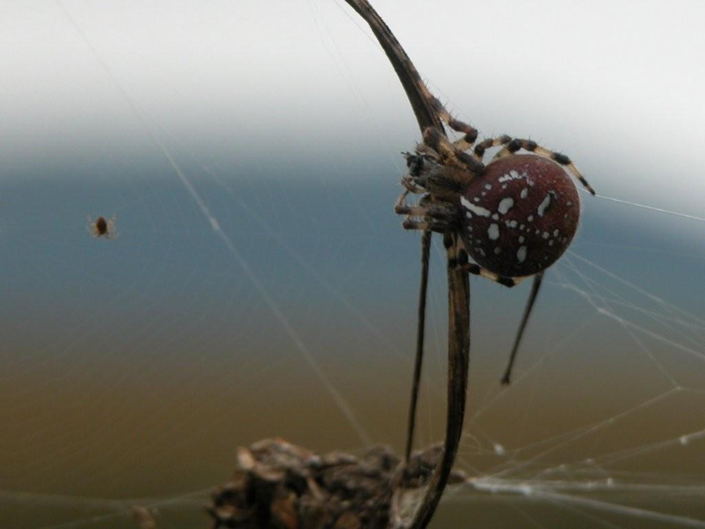 Vierfleck-Kreuzspinne