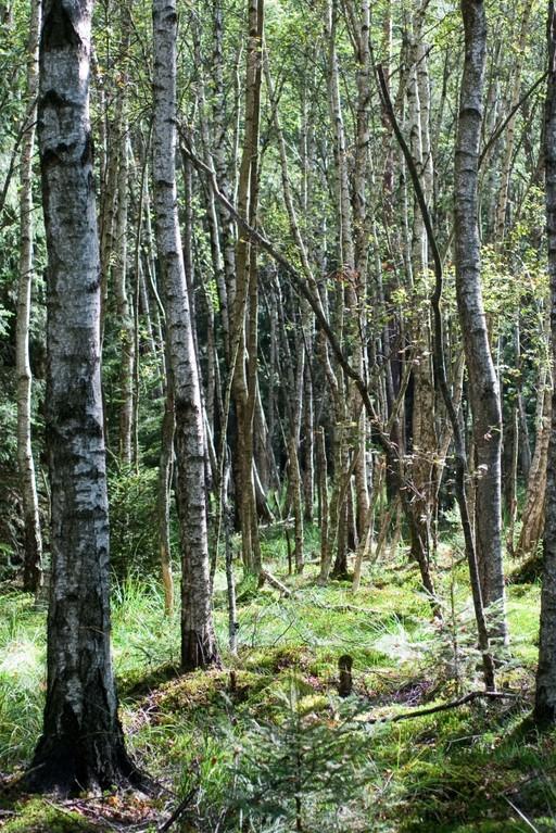 Birkenwald heute