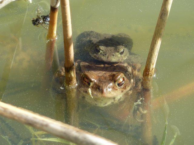 Erdkröten, ablaichend