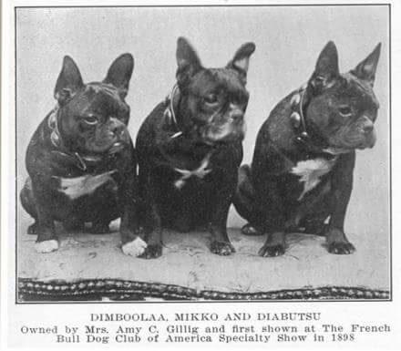 1898 Spezial Show Bulldog Club Amerika, Züchter: Mrs. Amy C. Gillig