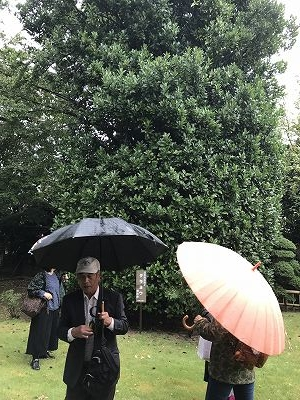 大きくそびえ立っているのが、「タラヨウ」の木です!