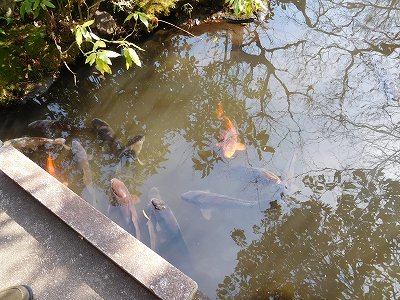 小川には鯉もたくさんいて、こちらに餌を求めてやって来ました(^^♪