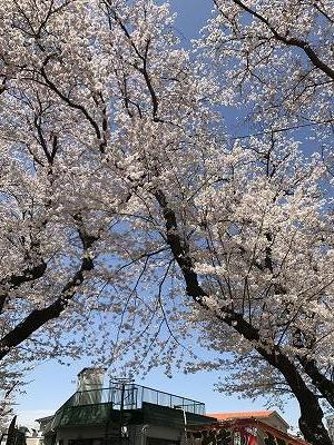 幸ヶ谷公園は桜の名所。割合小さな公園の中に、桜が沢山咲いてました!!