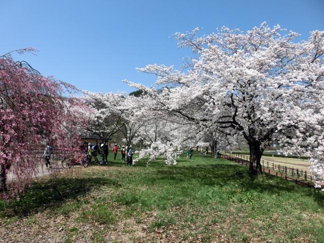 南会津病院の桜